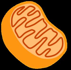 Your Wellness Centre Naturopathy - Energy - Mitochondria